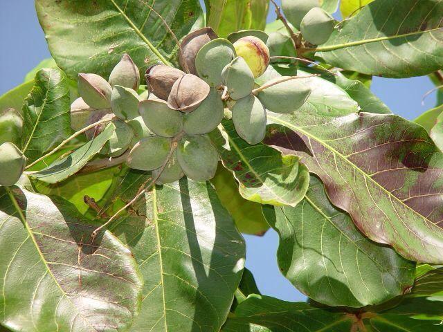 cây bàng - Cảm nhận về loài cây em yêu