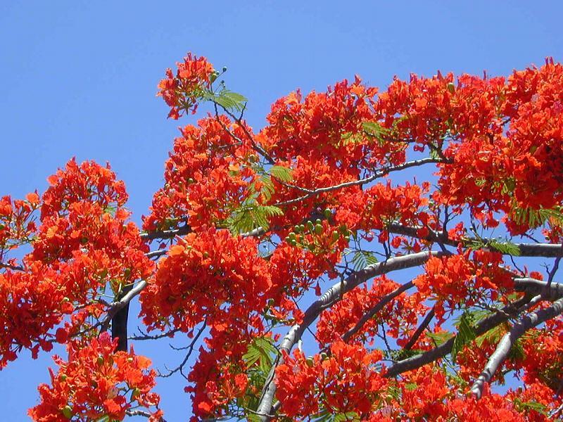 bieu cam ve cay phuong noi goc san truong em - Biểu cảm về cây phượng nơi góc sân trường em