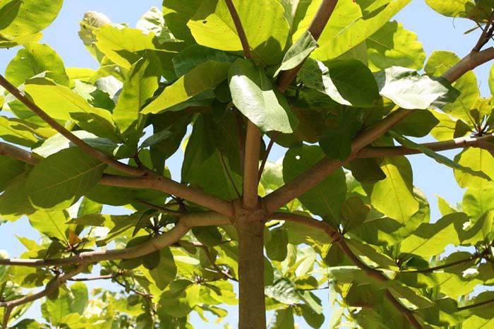 Tả cây bàng ở sân trường em