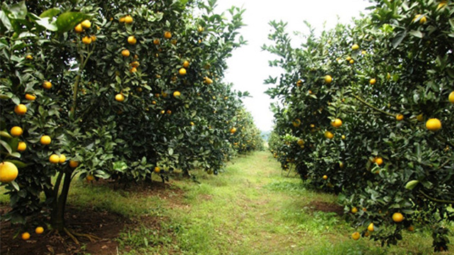Tả cây cam trong vườn nhà em