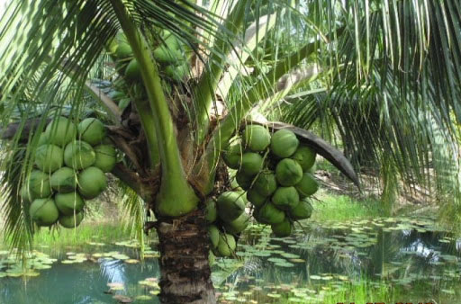 Tả cây dừa nhà em trồng