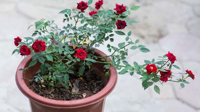 Tả cây hoa hồng của nhà em