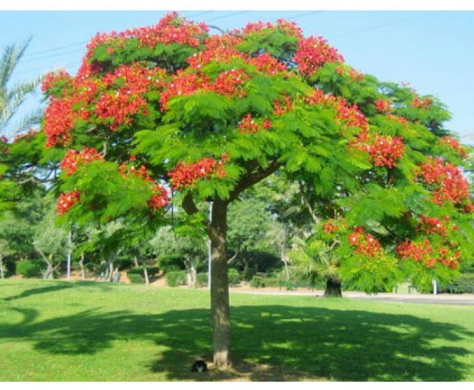 Tả cây phượng lớp 4