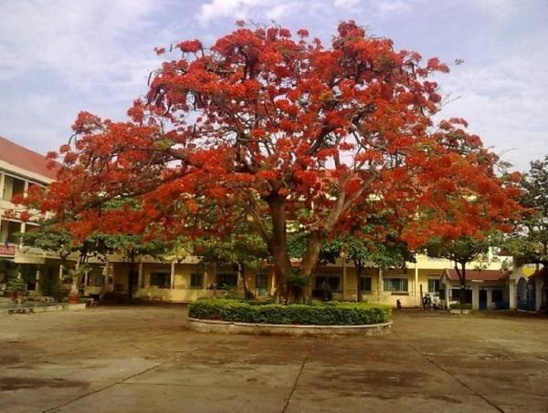 Tả cây phượng ở trường em học