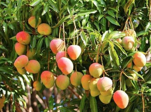 Tả cây xoài được trồng trong vườn nhà em