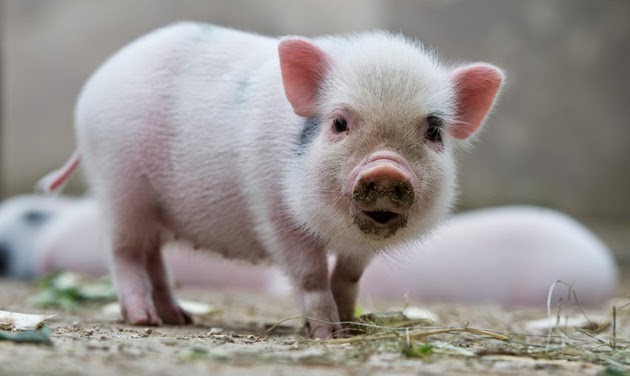 Tả con lợn trong chuồng nhà em